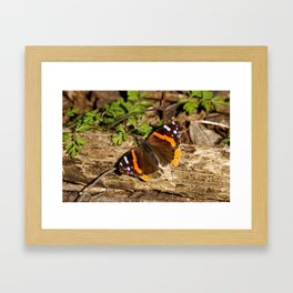 Red Admiral Butterfly on a Log - Photography Framed Art Print