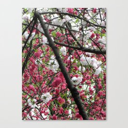 In Full Bloom | Hangzhou, China Canvas Print