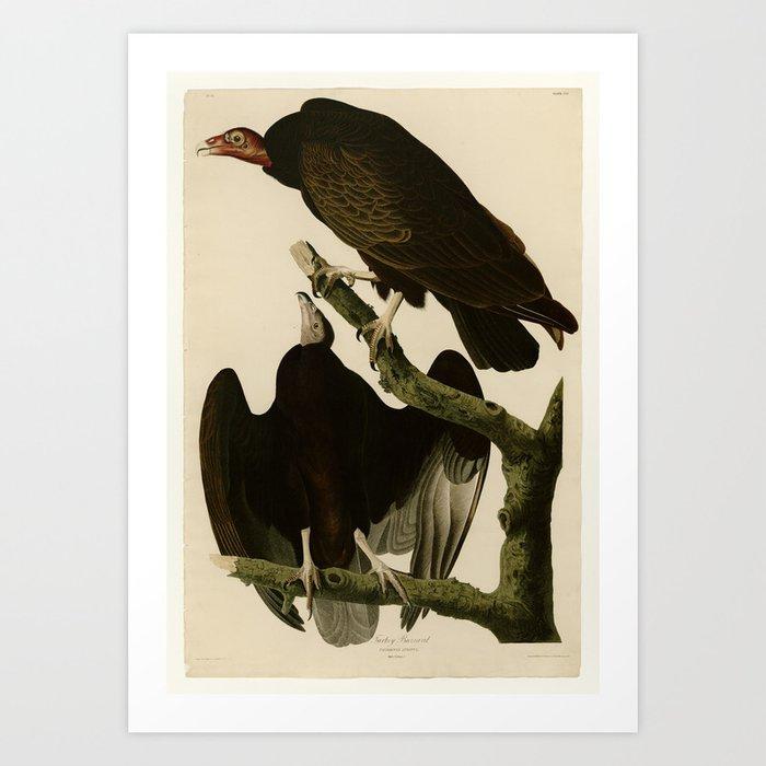 Turkey Buzzard Kunstdrucke