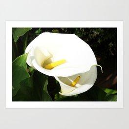 Beautiful White Calla Flowers In Bright Sunlight Art Print
