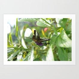 Blue Clipper Butterfly 2 Art Print