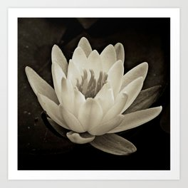 Water Lily In Sepia Art Print