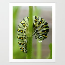 swallowtail caterpillar Art Print