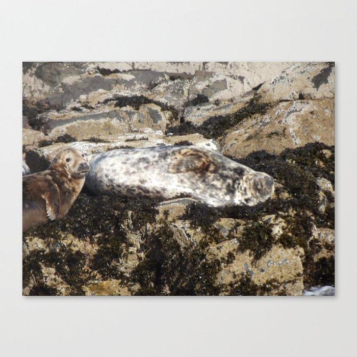 Farne Island Seals Canvas Print
