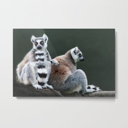 Ring Tailed Lemurs Metal Print