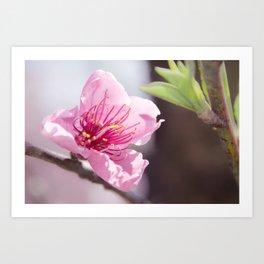 Peach Blossoms 8 Art Print