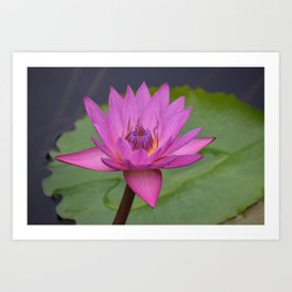 Bright Pink Water Lily Art Print