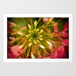 Cleome Pink Bloom with Green Art Print