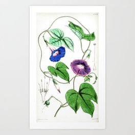 A Purging Pharbitis Vine in full blue and purple bloom - Vintage illsutration Art Print