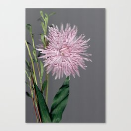 pale pink aster botanical Canvas Print