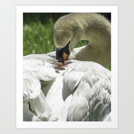 Preening Swan Art Print