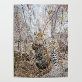 Mother Leopard carrying baby cub Poster