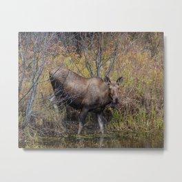 Moose in the Fall, at a Pond, Fairbanks Alaska Metal Print