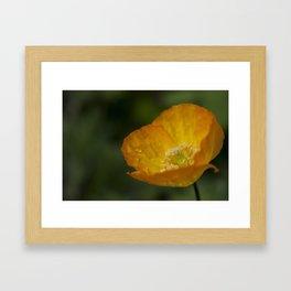 Californian Poppy Flower - After the Rain Framed Art Print