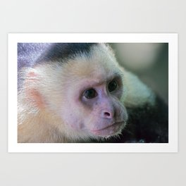 White headed capuchin monkey Art Print