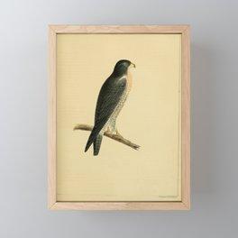 falco nigriceps9 Framed Mini Art Print