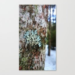 Musk in the snow Canvas Print