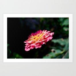 Dahlia flower in full bloom Art Print