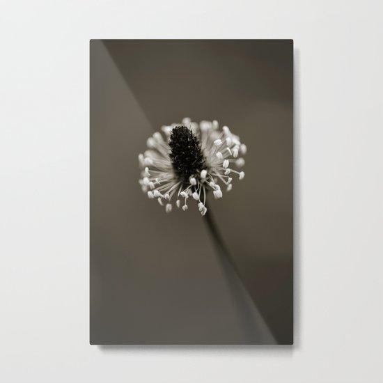 Ribwort Plantain Metal Print
