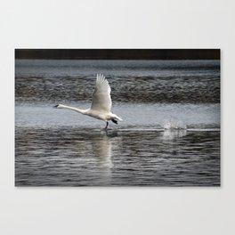 Trumpeter Swan walking on Water Canvas Print