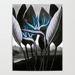 Birds of Paradise Temple of Flora Blue Gray Poster