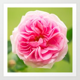 Pink Rose On A Natural Green Background #decor #society6 #buyart Art Print