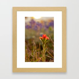 Indian Paintbrush Framed Art Print