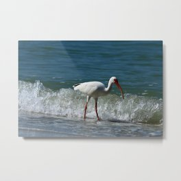 Florida White Ibis Metal Print