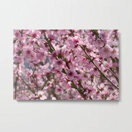 field of blooming peach trees in spring Metal Print