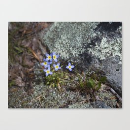 Thyme Leaved Bluets #2 Canvas Print