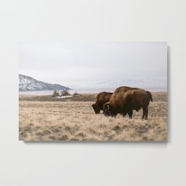 Bison sharing the feed Metal Print