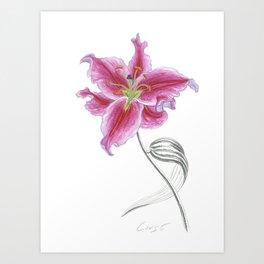 Lily 02 Botanical Flower * Pink Stargazer Rubrum Lily  Art Print