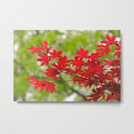 Acer leaves Metal Print