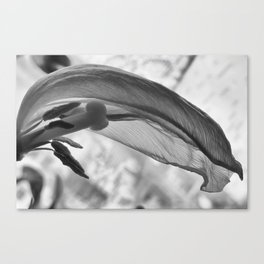Withered tulip Canvas Print