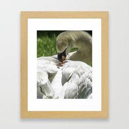 Preening Swan Framed Art Print
