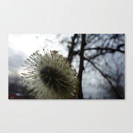 Salix cinerea Canvas Print