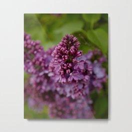 Lurid Lilac Metal Print