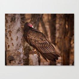 Turkey Vulture In Birch Tree Canvas Print