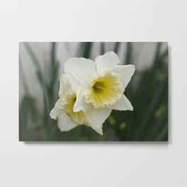 White and yellow daffodils, early spring flowers Metal Print