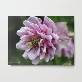 Double Columbine named Pink Tower Metal Print