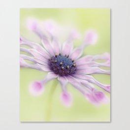 Osteospermum Whirligig Canvas Print