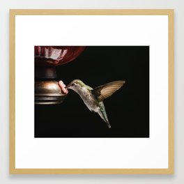 Ruby Throated Hummingbird at the feeder in Wisconsin Framed Art Print