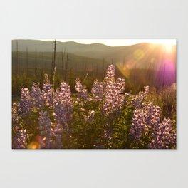 sunset lupin Canvas Print