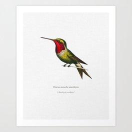 Amethyst Woodestar (Oiseau-Mouche Amethyste) illustrated by Charles Dessalines D' Orbigny (1806-1876 Art Print