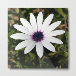 White African Daisy Metal Print