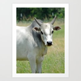 Grey Mini Brahman Bull Art Print