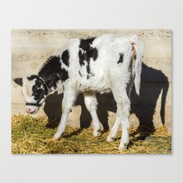 Baby Cow Eats Lunch In The Sun Canvas Print