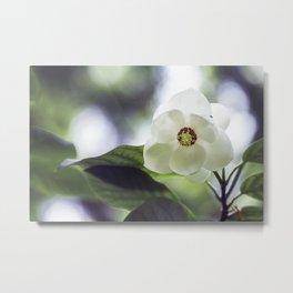 Magnolia Sieboldii - Spring Flower Metal Print