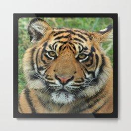 Graceful Gaze 🐾 Bengal Tiger Metal Print
