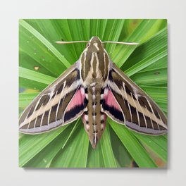 White Lined Sphinx Hyles Lineata Moth on Palm Metal Print